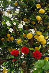 Rosor och citrus