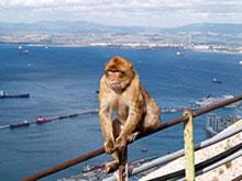 Aporna är Gibraltars största turistattraktion